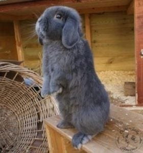 gen_gen_grey_mini_lop_male_5__12_11_12(1)