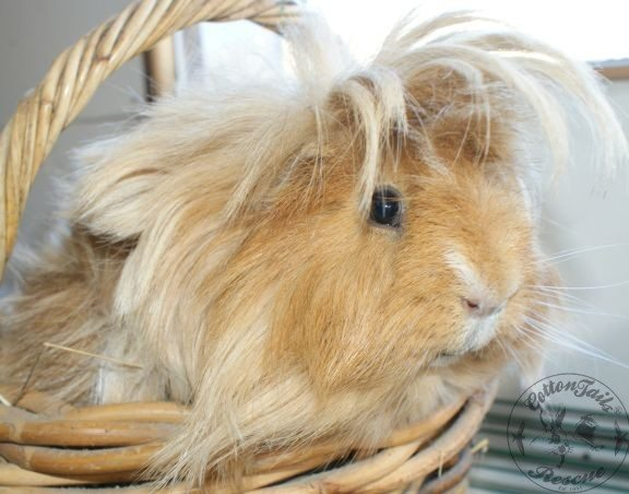 Long haired guinea pig - photo#7