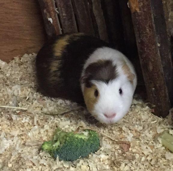 cross guinea pig