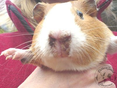 guinea pig care article photo 8