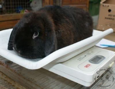 gen_rabbit_on_scales_11_5_13