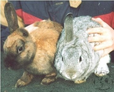INFANTICIDE - mutilation of new-borns - CottonTails Rabbit & Guinea