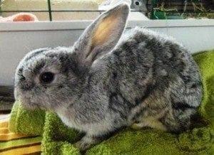 gen_emaciated_rabbit_1-300x218