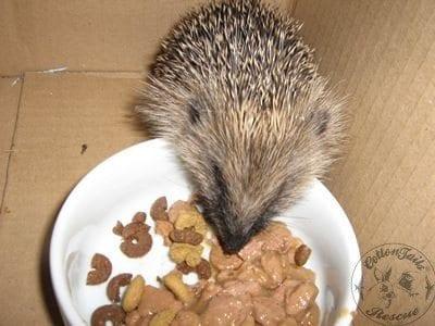 gen_hedgehog