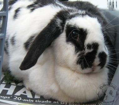 gen_rabbit_with_large_dewlap_websize