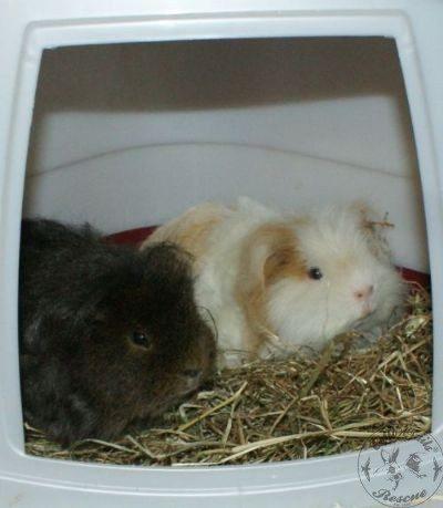 GUINEA PIG Care - CottonTails Rabbit & Guinea Pig RescueCottonTails