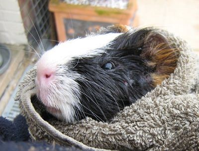 guinea pig care article photo 11