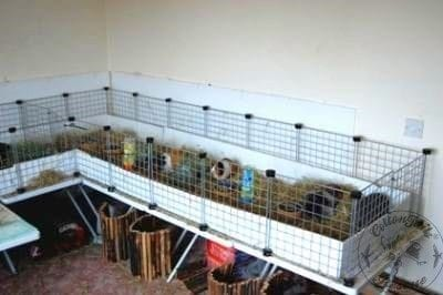 guinea pig care article photo 1