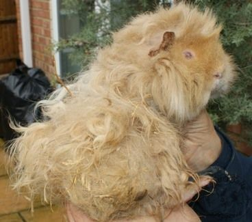 guinea pig care article photo 3