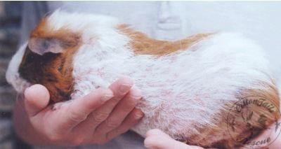 guinea pig care article photo 6