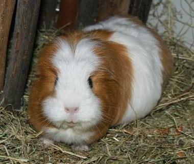 GUINEA PIG Care - CottonTails Rabbit & Guinea Pig