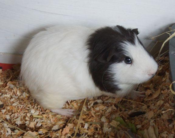 ROLO AND POLO - CottonTails Rabbit & Guinea Pig RescueCottonTails